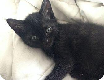 Domestic Shorthair Kitten for adoption in Reston, Virginia - Teri