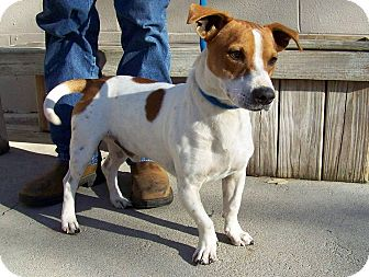 Sweetwater, TN - Jack Russell Terrier/Basset Hound Mix ...