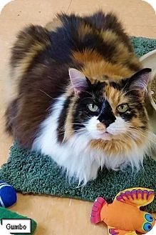 Domestic Longhair Cat for adoption in Lakewood, Colorado - Gumbo