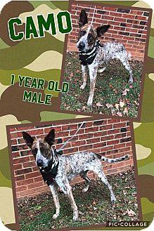 Australian Cattle Dog Mix Dog for adoption in Lexington, North Carolina - CAMO