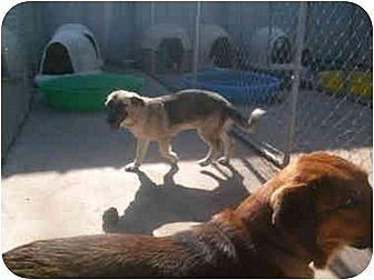 Basset Hound/German Shepherd Dog Mix Dog for adoption in Anton, Texas - Naomi