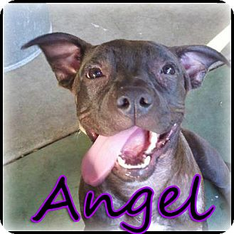 American Staffordshire Terrier/American Pit Bull Terrier Mix Puppy for adoption in Bakersfield, California - Angel