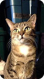 Domestic Shorthair Cat for adoption in New York, New York - Latifah