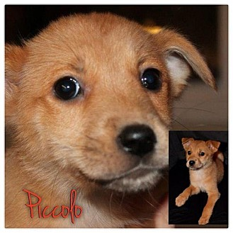 Dachshund/Beagle Mix Puppy for adoption in Garden City, Michigan - Piccolo