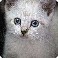 Adopt A Pet :: Bonita - Chicago, IL