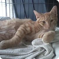 Adopt A Pet :: Mango - Raritan, NJ