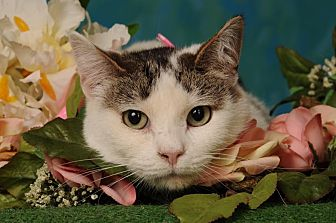 Domestic Shorthair Cat for adoption in mishawaka, Indiana - Mouse
