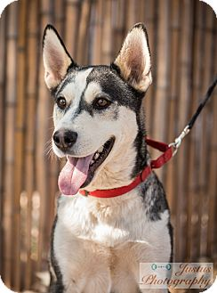 Siberian Husky Mix Dog for adoption in Cedar Crest, New Mexico - Zeus