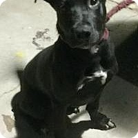 Labrador Retriever/Staffordshire Bull Terrier Mix Dog for adoption in Phoenix, Arizona - Starsky
