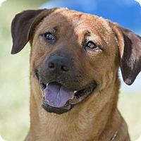 Adopt A Pet :: Louise - Brattleboro, VT