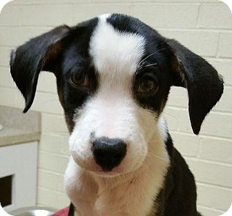 Boxer/Terrier (Unknown Type, Medium) Mix Puppy for adoption in Richmond, Virginia - Bruno