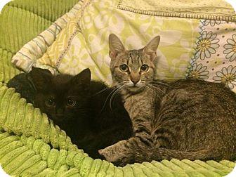 Calico Cat for adoption in Las Vegas, Nevada - Raja
