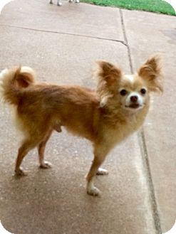 Chihuahua Dog for adoption in Edmond, Oklahoma - Zipper