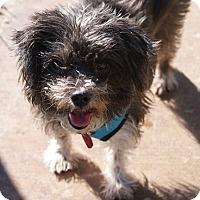 Adopt A Pet :: Havana - Apple Valley, UT