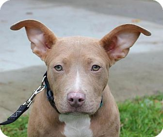 American Pit Bull Terrier Mix Puppy for adoption in Fulton, Missouri - Adele - Massachusetts