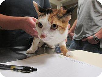 Domestic Shorthair Cat for adoption in Cumming, Georgia - Daisy Mae