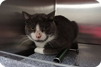 Domestic Shorthair Cat for adoption in Henderson, North Carolina - Connor