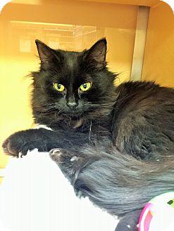 Domestic Shorthair Cat for adoption in Appleton, Wisconsin - Candice *Petsmart GB*