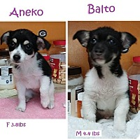 Adopt A Pet :: Aneko - Danbury, CT