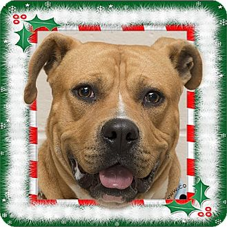 Pit Bull Terrier Mix Dog for adoption in Troy, Ohio - Beef