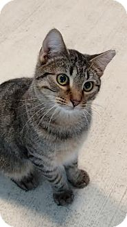 Domestic Shorthair Cat for adoption in Colorado Springs, Colorado - Raleigh