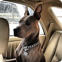 Adopt A Pet :: GOLIATH (Spanaway) perfect family boy - Bainbridge Island, WA