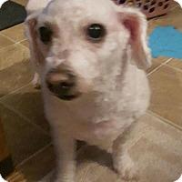 Adopt A Pet :: Pearl - Overland Park, KS