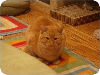 Domestic Shorthair Cat for adoption in Muncie, Indiana - Harry--PETSMART