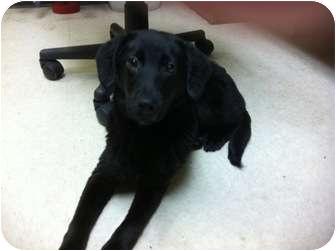 Labrador Retriever/Catahoula Leopard Dog Mix Dog for adoption in baton ...