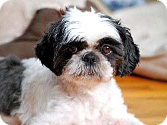 Shih Tzu Dog for adoption in Los Angeles, California - HARRISON