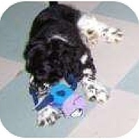 Adopt A Pet :: Patches - Antioch, IL