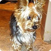 Adopt A Pet :: Coco - Mount Kisco, NY