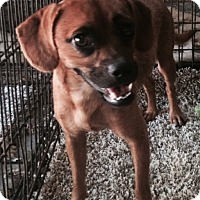 Adopt A Pet :: Trixie 1-pending adoption - East Hartford, CT