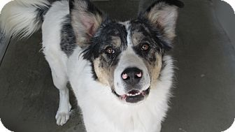 Australian Shepherd Mix Dog for adoption in Buffalo, Wyoming - Pretty