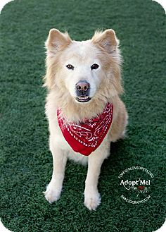 Siberian Husky/Chow Chow Mix Dog for adoption in Scottsdale, Arizona - Dexter