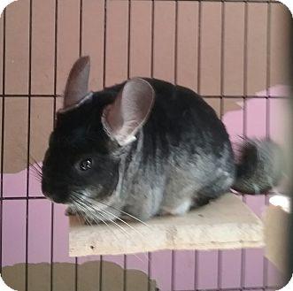 Chinchilla for adoption in Granby, Connecticut - Felix