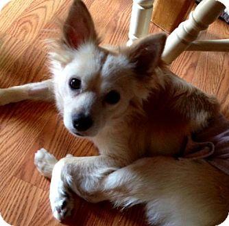 American Eskimo Dog Mix Dog for adoption in Livonia, Michigan - Radar - APPLICATIONS CLOSED
