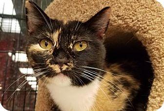 Domestic Shorthair Cat for adoption in Philadelphia, Pennsylvania - Mila *video*
