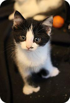 Domestic Shorthair Kitten for adoption in Carlisle, Pennsylvania - Gil