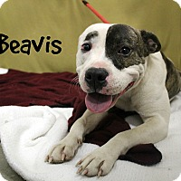 Pit Bull Terrier Mix Dog for adoption in Melbourne, Kentucky - Beavis