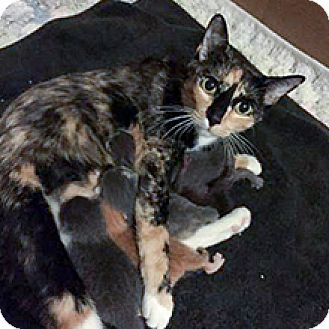 Domestic Shorthair Cat for adoption in Phoenix, Arizona - Lucy
