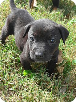 Rottweiler/Pit Bull Terrier Mix Puppy for adoption in Springtown, Texas - Apollo