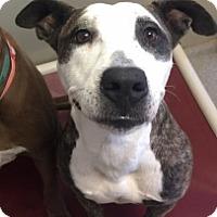 Pit Bull Terrier Mix Dog for adoption in Joplin, Missouri - Jj  Vtg 110864