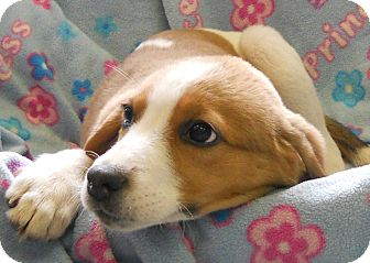 Foxhound Mix Puppy for adoption in River Falls, Wisconsin - Francine