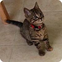 Adopt A Pet :: Dijon - Portland, OR