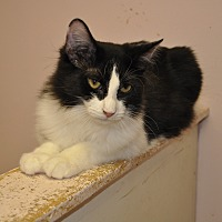 Domestic Longhair Cat for adoption in West Hartford, Connecticut - Duff