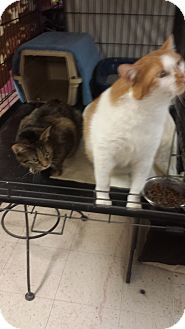 American Shorthair Cat for adoption in Chicago, Illinois - Pumpkin