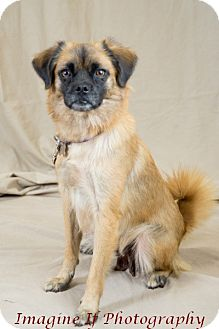 Tibetan Spaniel Mix Dog for adoption in Oklahoma City, Oklahoma - Princess