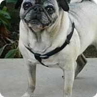 Adopt A Pet :: Suzi Q - Pismo Beach, CA