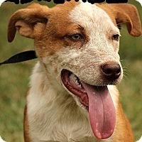 Adopt A Pet :: Adelaide - Windham, NH